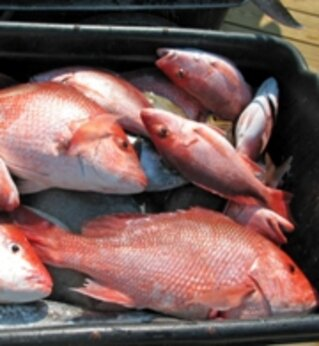 Red snapper for story on people texting fishing violations in Alabama