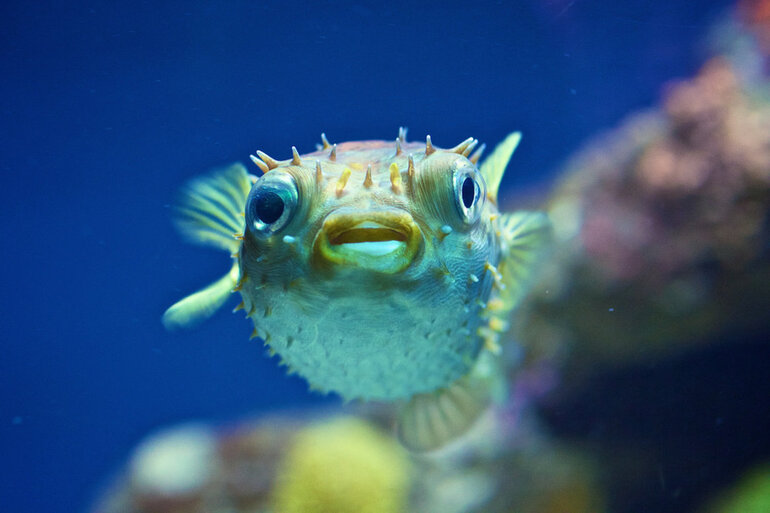 An Orbicular Burrfish at the National Aquarium in Baltimore