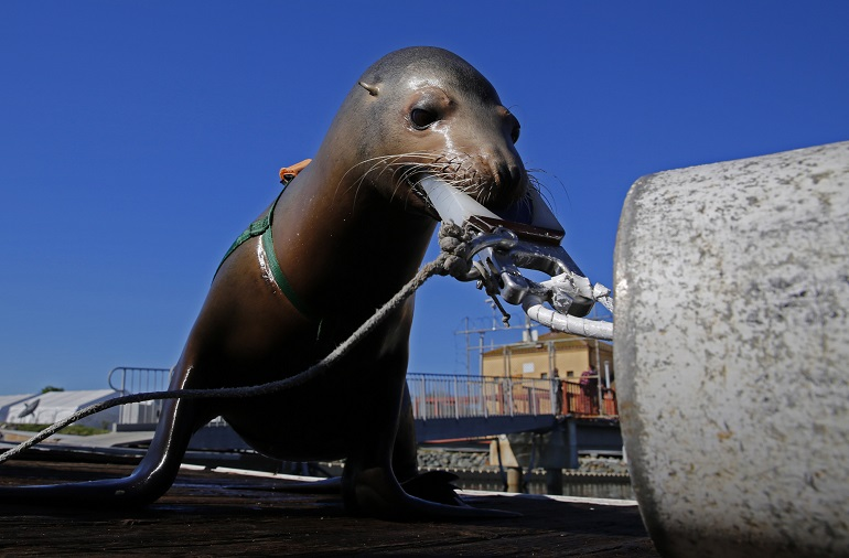 Dolphins And Sea Lions Important Role In Guarding